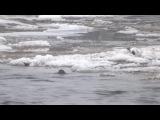 Оляпка...5.12.14г. Ленинградская обл. г.Кингисепп..река Луга...